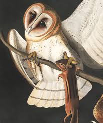 Barn Owl | John James Audubon's Birds Of America Lets Talk About Birds Barn Owl Pittsburgh Postgazette Couple Owls Stock Photo 30126931 Shutterstock Watch The Secret To Why Barn Owls Dont Lose Their Hearing New Zealand Online Let You Know Birdnote Owl John James Audubons Of America Information Found Suffer No Loss As They Age Facts Pictures Diet Breeding Habitat Behaviour Baby Youtube