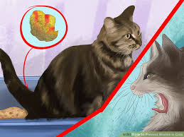 signs of worms in cats how to prevent worms in cats 14 steps with pictures wikihow