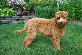 Hypoallergenic Dog Breeds That Dont Shed by Large Non Shedding Hypoallergenic Dog Breeds Breed Dogs Picture