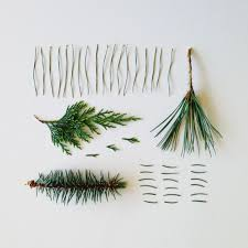 Most Common Christmas Tree Types by Identify Coniferous Trees By Examining Their Needles