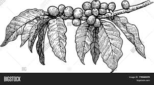 Coffee Plant Illustration Drawing Engraving Ink Line Art