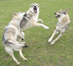 Guard Dogs That Dont Shed by Facts About The Wolfdog Czechoslovakian Wolfdog