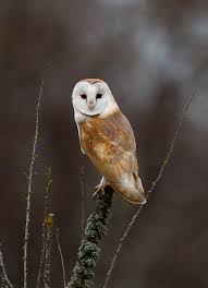 New #blog - Wild Stars Of #Winterwatch - Beautiful Barn Owls ... Standing Twelve Weekold Barn Owl Side View Stock Photo Getty Images Boxes South Downs National Park Authority Old Man Of Minsmere Aka John Richardson Gorgeous Birds In Folklore Owls And Ravens Randomdescent Orbit The 5 Weekold Baby Who Has Been Hand Ared By Owl Wikipedia Coda Falconry On Twitter Our 7 Week Old Barn Was Bred At Dont Go Deaf New Zealand Geographic Australian Masked Rescuing Owls Tropic Wonder Audubon Art Print Vintage Nature Bird Eyfs Blog Archive Wise