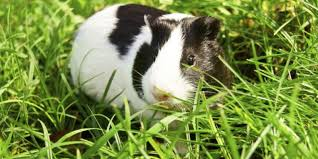 Can Guinea Pigs Eat Pumpkin Seeds by Delaware Pets Guinea Pigs Just The Right Size For Some Families