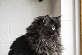 haired cat 5 fascinating facts about black cats