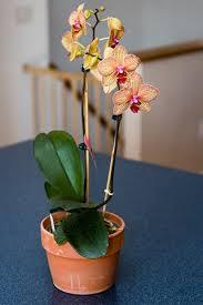 pot entretien des orchidées