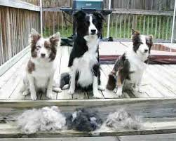 do blue heeler border collies shed border collie shedding how do we stop or it