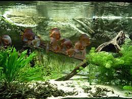 aquarium d eau douce aquarium wikipédia