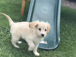 Cavapoos Do They Shed by Beautiful Cavapoo Rare Beige Colour