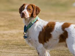 Cute Non Hypoallergenic Dogs by Easy To Train Dog Breeds Top 10