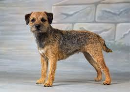 border terrier terrier dog and animal
