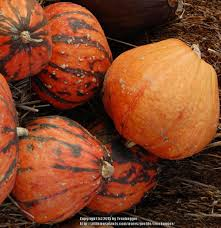 What Kinds Of Pumpkins Are Edible by Gourds Squashes And Pumpkins Plant Care And Collection Of