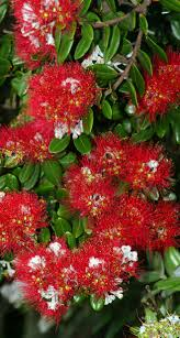 Deer Ticks On Christmas Trees by Pohutukawa Nz Pohutukawa New Zealand U0027s Christmas Tree Pinterest