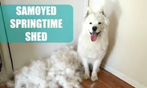 Do All Dogs Shed Their Fur by Meeko U0027s Spring Shed Vlog Samoyed Puppy Blows Her Coat Youtube