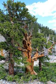 100 Le Pines Ristlecone At Great Basin National Park