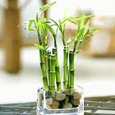 entretien des bambous en pot lucky bambou entretien web libre