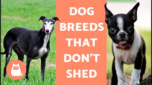 Dogs That Dont Shed And Smell by 100 Large Dog Breeds That Dont Shed Dogs That Don U0027t