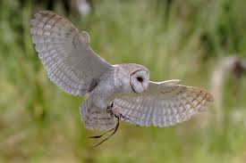 Http://upload.wikimedia.org/wikipedia/commons/2/23 ... Barn Owl Outdoor Alabama Owl Wikipedia Trust On Twitter Cservation Handbook A Wednesday Birdnation Wirral Home Facebook Audubon Field Guide Review Course By Martin Oconnor Arbtech Legal Status The Rspb Eastern Singapore Birds Project Barnowltrust Owls Owls Of The Niagara Region