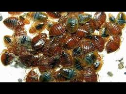 Diatomaceous Earth Bed Bug Killer Naturally Kill Bed Bugs