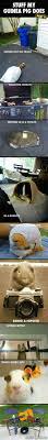 Can Guinea Pigs Eat Pumpkin Seeds by Best 25 Guinea Pigs Ideas On Pinterest Cute Guinea Pigs Guinea
