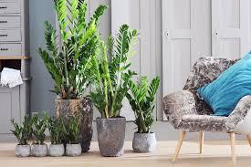zamioculcas ist zimmerpflanze des monats september z
