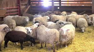 Sheep Barn Cam - Live Video Of Sheep At Farm Sanctuary | Explore.org Britespan Building Systems Inc Fabric Buildings The Barn At Gibbet Hill Traditional Corsican Sheep Barns With Pool 10 Km From Porto Spherds Way Farms Build The Barns Grow Flock By Steven Acvities For Children High Park Shed Books Plan Choice Sheep Barn Plans Designs And Farm Structures Waterford Vermont Maremma Sheepdog Herding Finndorset Stone Center Youtube Horizon Prefab Shedrow Can Easily Be Adapted