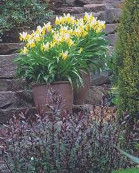 planting bulbs in containers gardening