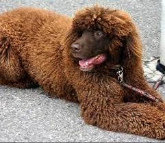 irish water spaniel dogs irish water spaniel dog breed info