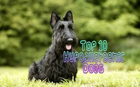 No Shed Dog Breeds Large by Top 10 Hypoallergenic Dogs Youtube