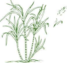 Sugar Cane Clip Art