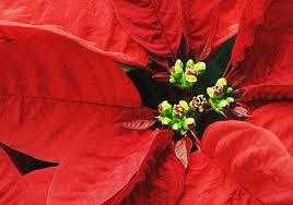 weihnachtsstern porträt der beliebten zimmerpflanze