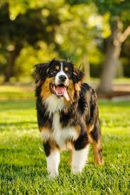 Quiet Small Non Shedding Dog Breeds by 15 Quiet Dog Breeds Dogs That Don U0027t Bark