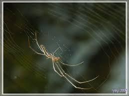 une araignée tétragnathe étirée tetragnatha extensa tisse sa