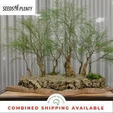 100 Casuarinas Details About Forest Oak Casuarina Torulosa 50 Bonsai Seeds