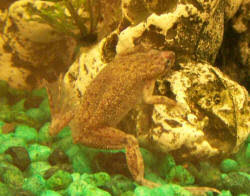 Should African Dwarf Frogs Shed by Faqs About African Dwarf Frogs Health Disease