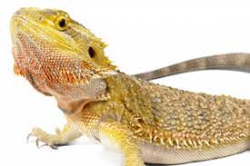Reptile Heat Lamps Safety by Why You Shouldn U0027t Use Heat Mats For Bearded Dragons Vivarium World