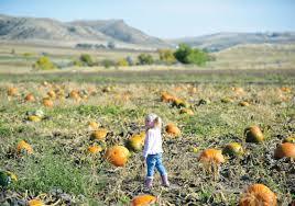 Pumpkin Picking Patchogue Ny by Pumpkin Patch Sheridan Wy