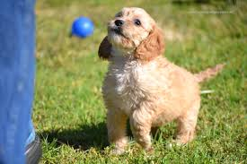 Do Brittany Spaniels Shed Hair by Feature Article My Oodle Is Shedding Banksia Park Puppies