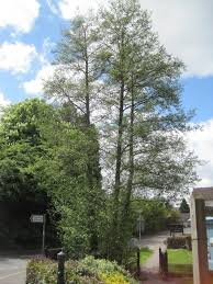 Christmas Tree Aphids Uk by Tree Guide Transition Haslemere