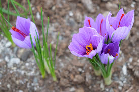 how to grow saffron research farm to home garden american