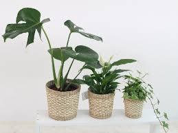 top 10 zimmerpflanzen für wenig licht dehner