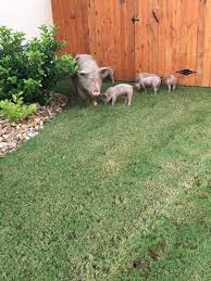 Photos: Texas Police Use Doritos To Lure And Capture Escaped Pigs ... 100 Dog Escapes Backyard Run Ideas How To Build A To Guide Install Homer The Beagle Capes Home Heads Kids School Determined Cannot Be Fenced Im Not Stalking You Wearing Gopro Camera Jukin Media Annie The Heat Youtube Escape Artist Climbs Fence Creative Country Scenes Coloring Book For Adults Adult Qa More Help Dogfriendly Gardens Sunset Funny Puppy Kennel