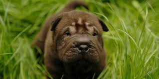Do Shar Pei Lab Mix Shed by Shar Pei Information Characteristics Facts Names