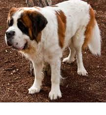 st bernard breed information history health pictures and more