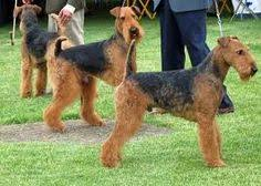 Airedale Terrier Non Shedding by Non Shedding Dogs Dogs Pinterest Dogs Non Shedding Dogs And