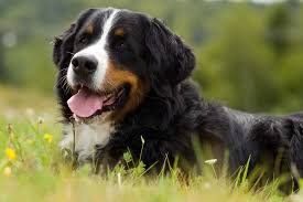Dogs That Dont Shed Hair Ireland by Hair No More The Benefits Of Omega 3 For Dogs Shedding Barkspace
