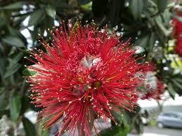 Christmas Tree Species Nz by The Art And Science Of Horticulture And Gardening Blog