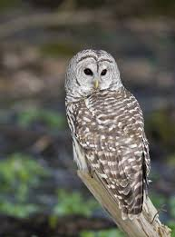 Mind-boggling Facts About Barred Owls You Probably Didn't Know Watch The Secret To Why Barn Owls Dont Lose Their Hearing 162 Best Owls Images On Pinterest Barn And Children Stock Photos Images Alamy Owl 10 Fascating Facts About Species List Az 210 Birds Drawing Photographs Of Cave By Tyler Yupangco 312 Beautiful Birds