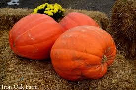 Connecticut Field Pumpkin iron oak farm pumpkins squashes and gourds