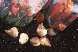 planting bulbs for flowers fall flower bulbs the